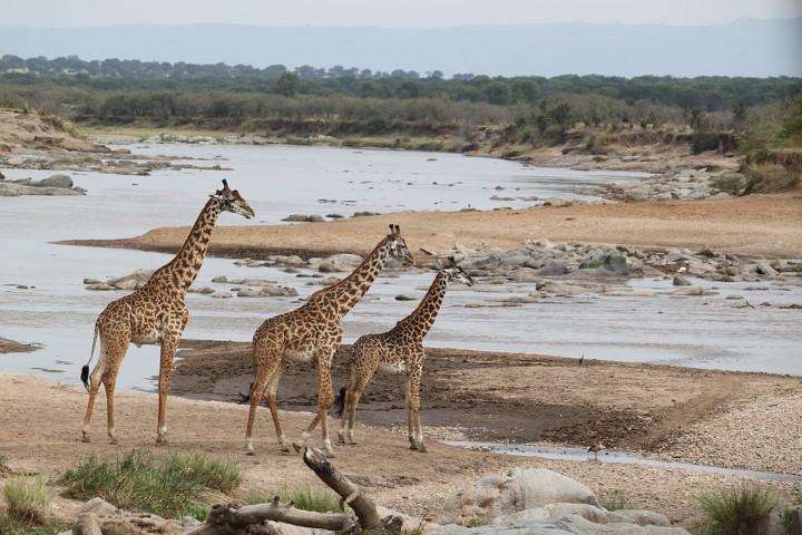 Jirafas en safari de Kenia
