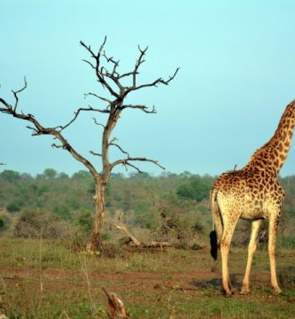 Kruger Park Sudáfrica Jirafas
