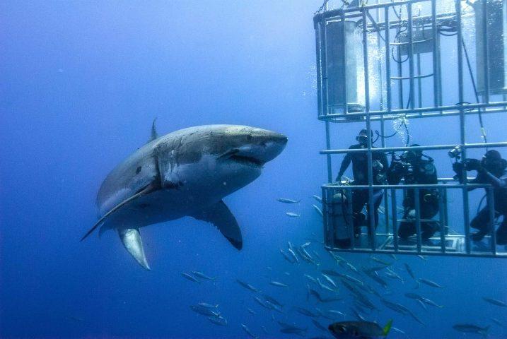 Saludar a un tiburón blanco en Australia - Bucear