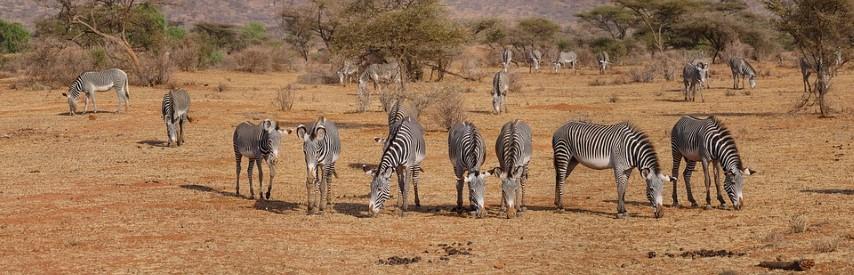 Cebras Grevy en el parque nacional Samburu