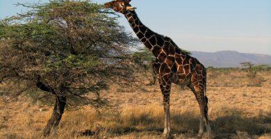 Jirafa reticulada en Samburu Kenya